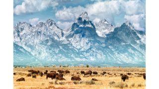 Buffalo migrating from Yellowstone to Grand Tetons