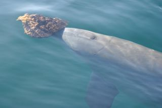 a bottlenose dolphin in Shark Bay carrying a sponge on its snout.