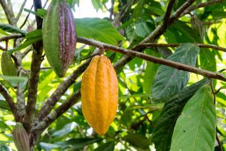 cocoa pods on a cacao tree