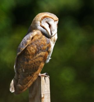 Barn owls sleep during the day. As owlets, their REM activity is similar to that of baby mammals, including humans.