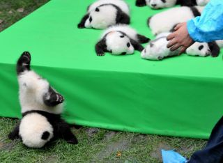 A panda cub slips off the stage at the Chengdu Research Base of Giant Panda Breeding on Sept. 29, 2016 in Chengdu, during a public debut of the year's 23 cubs born at the center.