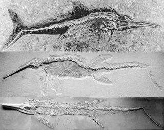 Ichthyosaur fossils
