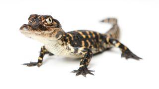 Baby alligator on a white background.