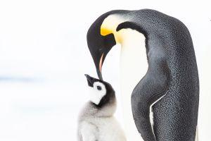Los pingüinos conocen a la familia