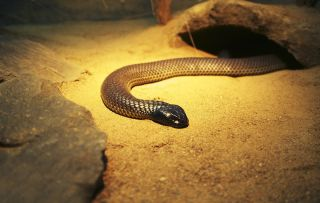 A photo of a mulga snake