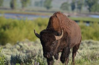 A bison in Yellowstone.