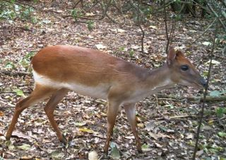 rare antelope, aders duiker, camera traps and antelopes, tiny antelopes, rare animals, endangered species, critically endangered antelopes, camera traps
