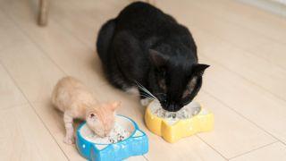 Cats eat kitten food