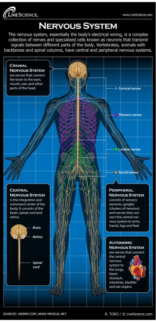 Infographic: Drawing explains the parts of the human nervous system.