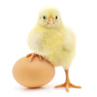 Chick stands with one leg on top of large egg.