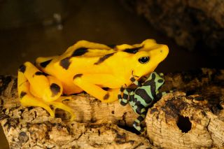Panamanian golden frog with toadlet
