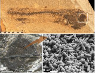 Fossilized structures containing the pigment melanin in the remains of a 54-million-year-old fish.