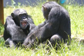Chimps playing together