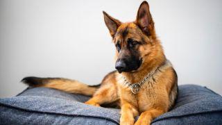 German shepherd in the best dog bed