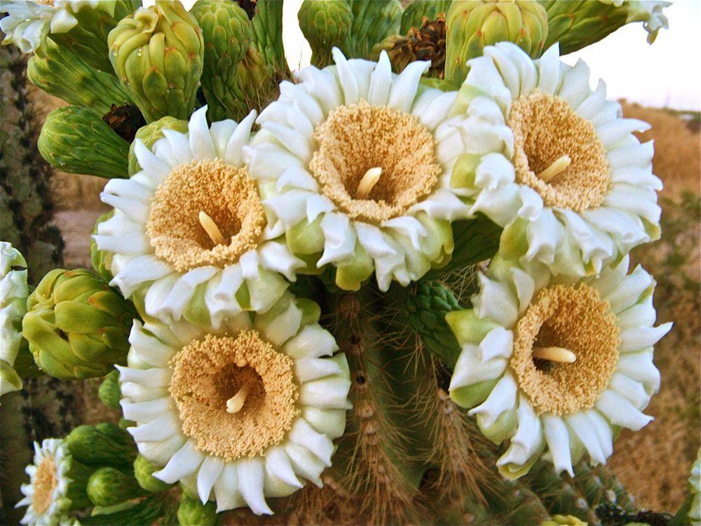 Saguaro Cactus Flower | Michigan has tulips, Arizona has ... |Saguaro Cactus Flowers