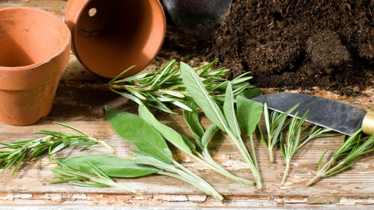 Monty Don's expert tips for taking cuttings - rosemary cuttings and sage cuttings on a potting bench with compost and pots