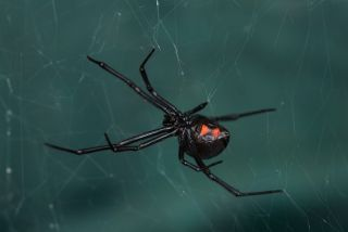 World S Deadliest Spiders A Toxic Myth Live Science