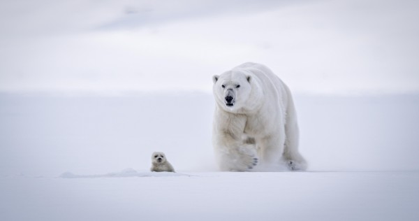 Polar bear on The Hunt