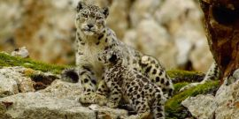 What Happened To The Snow Leopards After Born In China