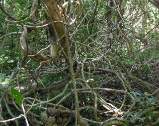 lianas, woody vines, kudzu, tropical forests, tropical rainforests, amazon, invasive species