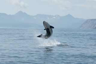 A young orca jumping from the water against the volcanic backdrop of Avacha Gulf, Kamchatka.