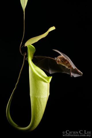 A bat approaches the pitcher plant <em>Nepenthes hemsleyana</em> in the peat forests of Borneo.