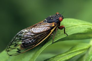 Periodical Cicada, Adult, Magicicada spp. Requires 17 years to complete development. Nymph splits its skin, and transforms into an adult. Feeds on sap of tree roots. Northern Illinois Brood. This brood is the largest emergence of cicadas anywhere.