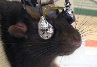 rat-goggles