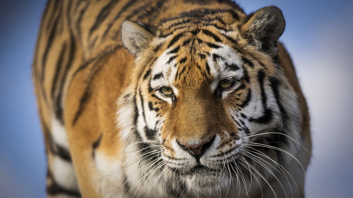 Tiger King! 10 tips to take the big cat photography throne