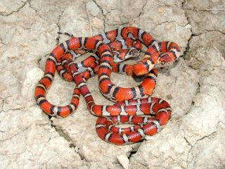 Red milk snakes