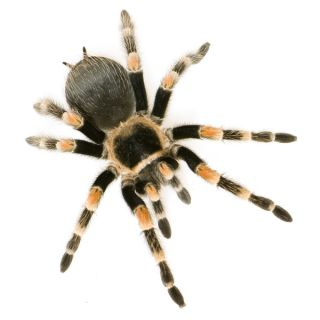 A Brachypelma smithi tarantula, one of the species used in a study which found that people who are afraid of spiders overestimate the size of spiders they have encountered.