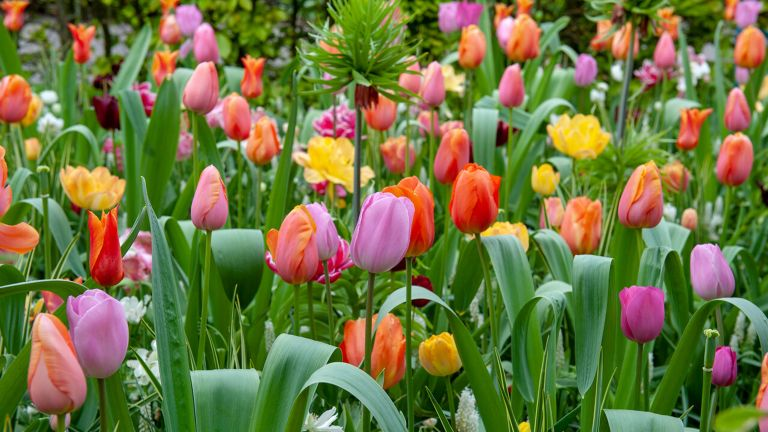 bed of colourful tulips
