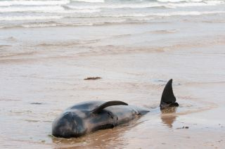 Pilot whale stranded in Ireland.