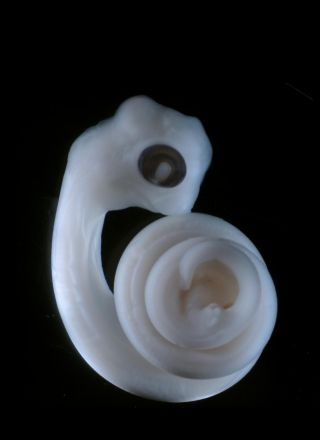 Python embryo