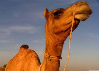 camel, food, water