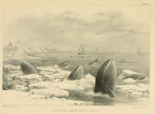 1874 illustration of California gray whales