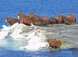 walruses, fun animal facts