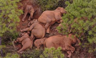 In this aerial photo from June 14, 2021, a herd of wild Asian elephants rests in Shijie Township of Yimen County, Yuxi City, southwest China's Yunnan Province.