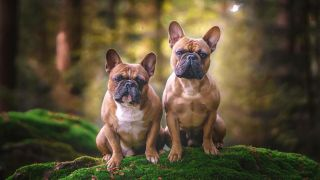 Two dogs outside sitting on moss covered boulder in forest