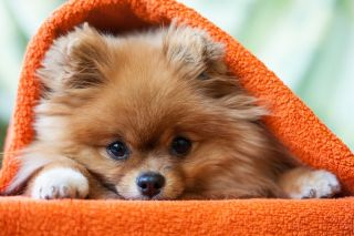 A Pomeranian dog in a blanket