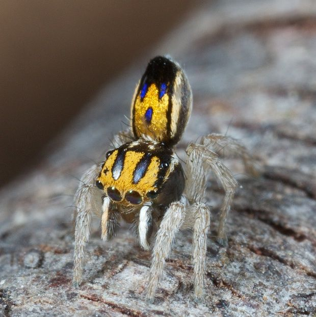 This is Purcell's peacock spider.