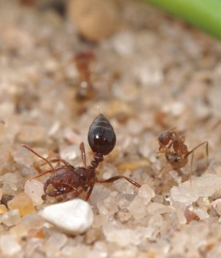 crazy ant and fire ant
