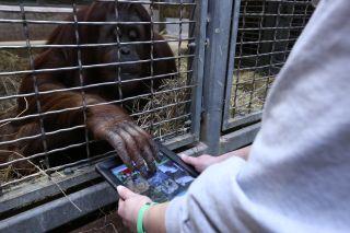 orangutan-tablet