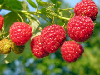 Raspberries growing on a branch.
