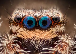 animal eyes, jumping spider