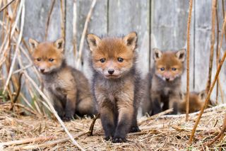 Family of young foxes photographed by Ossi Saarinen