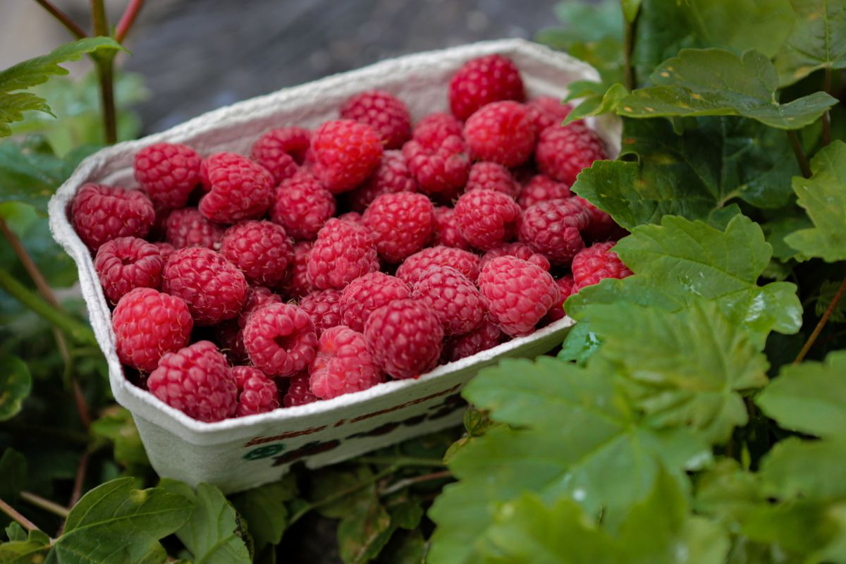 Pruning raspberries: when and how to do it, including tips from Monty Don