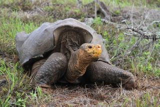 A giant saddleback tortoise on the Galapagos island of Espanola.