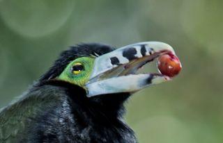 Toucanet eating palm fruit