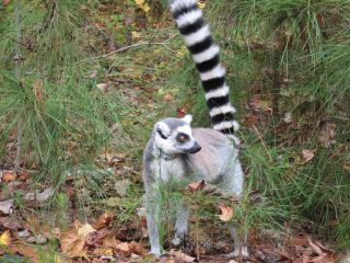 Ring-tailed lemur at Duke Lemur Center